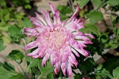 Bello crisantemo Immagini Stock Libere da Diritti