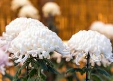 Bello crisantemo bianco in un giardino giapponese chiuso Primo piano Fotografie Stock