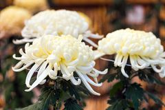 Bello crisantemo bianco in un giardino giapponese chiuso Primo piano Fotografia Stock Libera da Diritti