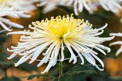Bello crisantemo bianco in un giardino giapponese chiuso Primo piano Fotografia Stock