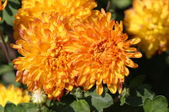 Bello crisantemo luminoso Fotografia Stock
