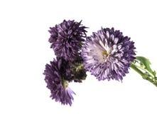 Bello crisantemo porpora isolato su un fondo bianco Fotografia Stock Libera da Diritti