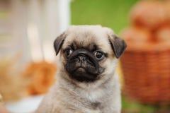 Bello cucciolo del cane del carlino all'aperto il giorno di estate Immagini Stock Libere da Diritti