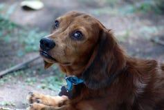 Bello cucciolo del piccolo del bassotto tedesco cane sveglio della salciccia fotografia stock libera da diritti