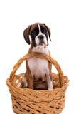 Bello cucciolo del pugile Fotografie Stock
