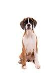 Bello cucciolo del pugile Immagine Stock