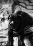 Bello cucciolo della razza di Cane Corso Immagine Stock Libera da Diritti