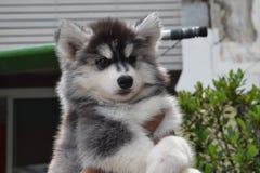Bello cucciolo di cane del husky siberiano Immagine Stock