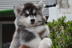 Bello cucciolo di cane del husky siberiano Fotografia Stock