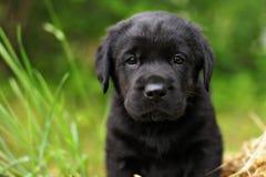 Bello cucciolo di cane nero di razza Labrador Immagine Stock