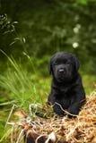 Bello cucciolo di cane nero di razza Labrador Fotografia Stock