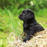 Bello cucciolo di cane nero Labrador Fotografie Stock