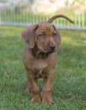 Bello cucciolo di Rhodesian Ridgeback Fotografia Stock