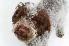 Bello cucciolo lanuginoso marrone Immagine Stock Libera da Diritti