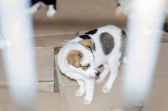 Bello cucciolo macchiato dietro il riparo delle barre immagini stock