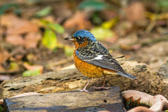 Bello del codirossone dalla gola bianca dell'uccello o di Swinhoe& x27; codirossone di s fotografia stock libera da diritti