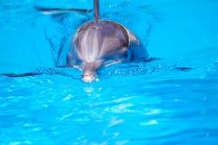 Bello delfino in acqua Immagine Stock
