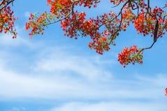 Bello delonix regia in fioritura rossa, situata ad un parco in VietN Fotografia Stock Libera da Diritti