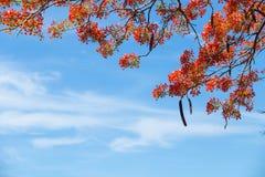 Bello delonix regia in fioritura rossa, situata ad un parco in VietN Immagini Stock Libere da Diritti