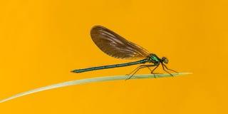 Bello demoiselle maschio, virgo di Calopteryx Fotografie Stock Libere da Diritti