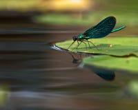 Bello Demoiselle, virgo di Calopteryx Immagini Stock