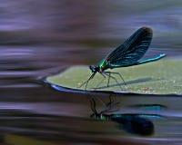 Bello Demoiselle, virgo di Calopteryx Immagini Stock Libere da Diritti