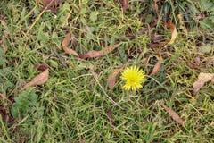 Bello dente di leone giallo che germoglia dall'erba fotografia stock