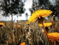 Bello dente di leone giallo luminoso, su fondo vago di erba verde e degli alberi fotografia stock libera da diritti
