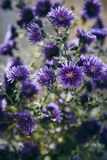 Bello dettaglio del giacimento di fiori porpora Fondo del fiore della primavera Immagine per agricoltura, STAZIONE TERMALE, indus Immagini Stock