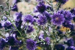 Bello dettaglio del giacimento di fiori porpora Fondo del fiore della primavera Immagine per agricoltura, STAZIONE TERMALE, indus Fotografia Stock
