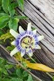 Bello di fiore colorato multi PassÃflora Fotografia Stock Libera da Diritti