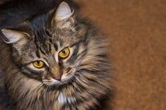 Bello di gatto colorato multi lanuginoso mi esamina Gatto lanuginoso fotografia stock libera da diritti