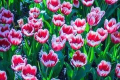 Bello di Tulip Flowers Immagine Stock Libera da Diritti