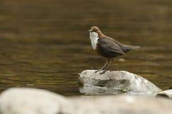 Bello Dipper, cinclus del Cinclus, stante su una roccia in mezzo ad un fiume Ha alimento in suo becco che sta andando fotografie stock libere da diritti