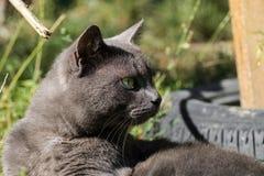 Bello distogliere lo sguardo cinereo del gatto Fotografie Stock