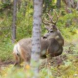 Bello dollaro dei cervi di mulo con il antler del velluto fotografie stock libere da diritti
