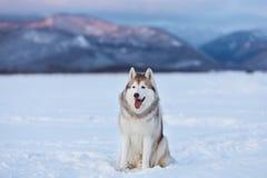 Bello e cane prideful del husky siberiano che si siede nel campo di neve nell'inverno fotografia stock libera da diritti