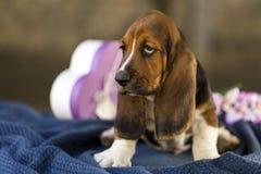 Bello e cucciolo delicato di basset hound con gli occhi tristi e molto la l fotografia stock libera da diritti