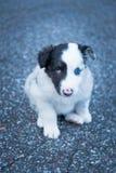 Bello e cucciolo sveglio del cane pastore immagine stock