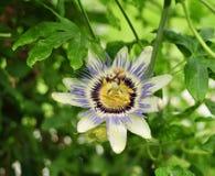 Bello e fiore insolito di passione Fotografie Stock