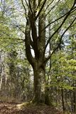 Bello e forte albero nella foresta fotografie stock libere da diritti