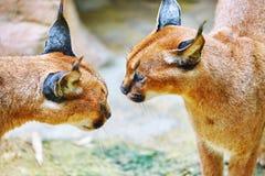 Bello e gatto selvatico o lince selvaggio Fotografie Stock