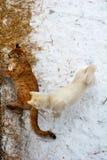 Bello e grande puma giocando con un cane nell'uccelliera, il gatto predatore gioca con giurare immagine stock libera da diritti