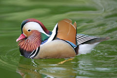 Bello e Mandar Colourful Immagini Stock