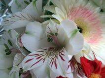 Bello e mazzo romantico delle gerbere bianche e rosse e dei alstroemerias bianchi in primavera Immagini Stock