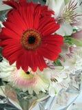 Bello e mazzo romantico delle gerbere rosse e dei alstroemerias bianchi in primavera Immagini Stock Libere da Diritti