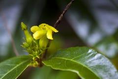 Bello e micro fiore giallo esagerato Fotografia Stock