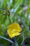 Bello e micro fiore giallo esagerato Fotografia Stock Libera da Diritti