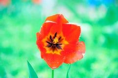 Bello e tulipano rosso elegante dopo pioggia fotografie stock libere da diritti