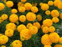 Bello erecta giallo di tagetes del giardino del tagete Fotografia Stock Libera da Diritti